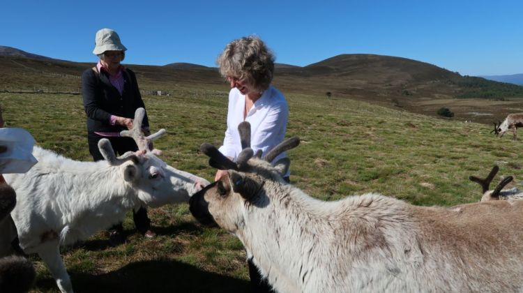 Ruth with guest feeding reindeer in the Cairngorm Mountains. No snow, bare hills, pasture. on tour with a guest